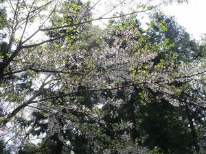 桜・2006