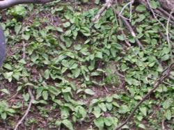 カタコの葉群落